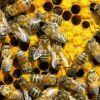 Мор пчел привел в ужас пасечников из Гусевскогорайона